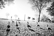 Canadian geese along Chicago's Lakefront Path in the Lincoln Park neighborhood.