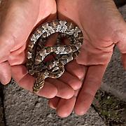 Lyre Snake, Trimorphodon biscutatus, held by herpetologist.  Rincon de Guadalupe, Sierra Bacadehuachi, Sonora mexico