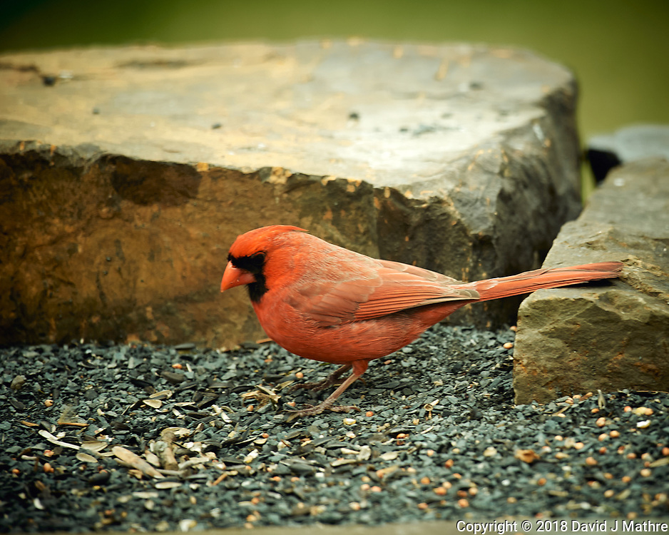 Male Northern Cardinal. Image taken with a Nikon D4 camera and 600 mm f/4 VR lens (ISO 320, 600 mm, f/4, 1/200 sec).