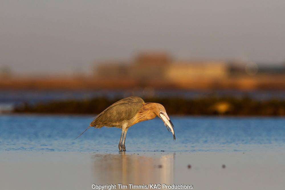 Reddish Egret, Egretta rufescens, Bolivar Flats, Texas gulf coast, catching a fish, swallowing a fish, golden light
