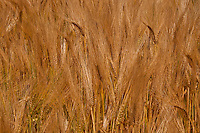 Lovely golden natural texture of wheat.