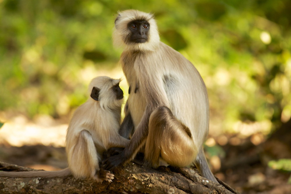 Mom and Baby Langur Monkey in Kanha National Park, India