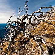 Gnarled and sunbleached junipers on the Xuashan ascent. Xue Shan, Miaoli and Taichung County, Taiwan