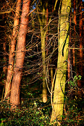 UK ENGLAND NORFOLK 9APR07 - Detail of forest in north Norfolk, close to Cley-next-the-sea...jre/Photo by Jiri Rezac..© Jiri Rezac 2007..Contact: +44 (0) 7050 110 417.Mobile:  +44 (0) 7801 337 683.Office:  +44 (0) 20 8968 9635..Email:   jiri@jirirezac.com.Web:    www.jirirezac.com..© All images Jiri Rezac 2007 - All rights reserved.