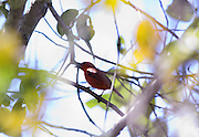 Nova Lima_MG, Brasil...Passaro no galho de uma arvore no condominio Passargada...A bird on the branch tree in the condominium Passargada...Foto: JOAO MARCOS ROSA / NITRO