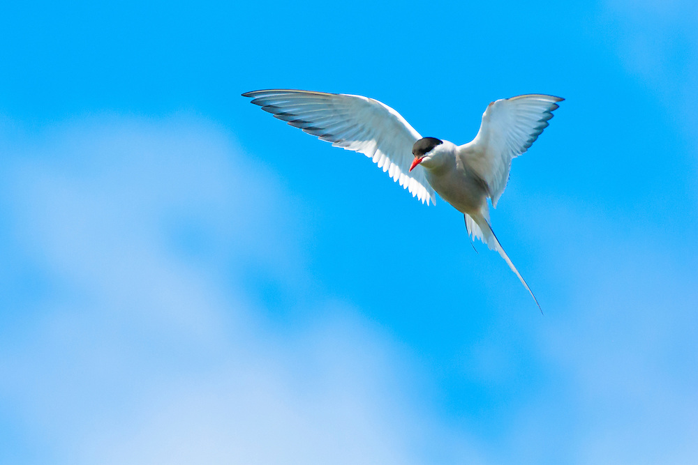 A beautiful Arctic Tern hovers above the water as it looks for its prey.