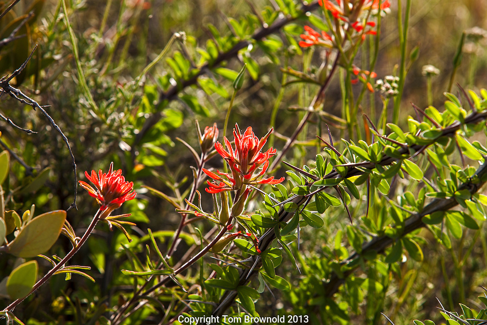Indian paint brush bloom and ocotillo cactus