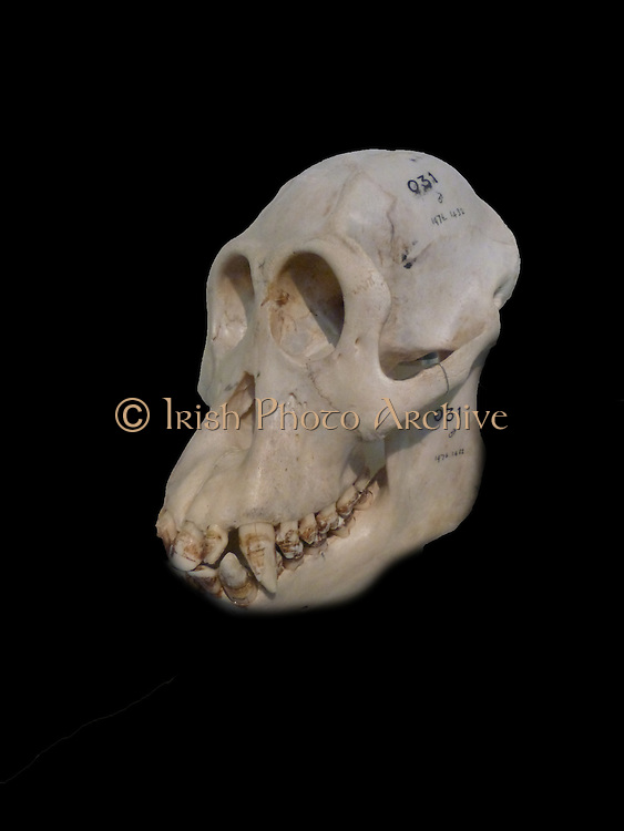 Gracile australopithecines - not heavily built as their 'robust' relatives, but they do share many physical features.