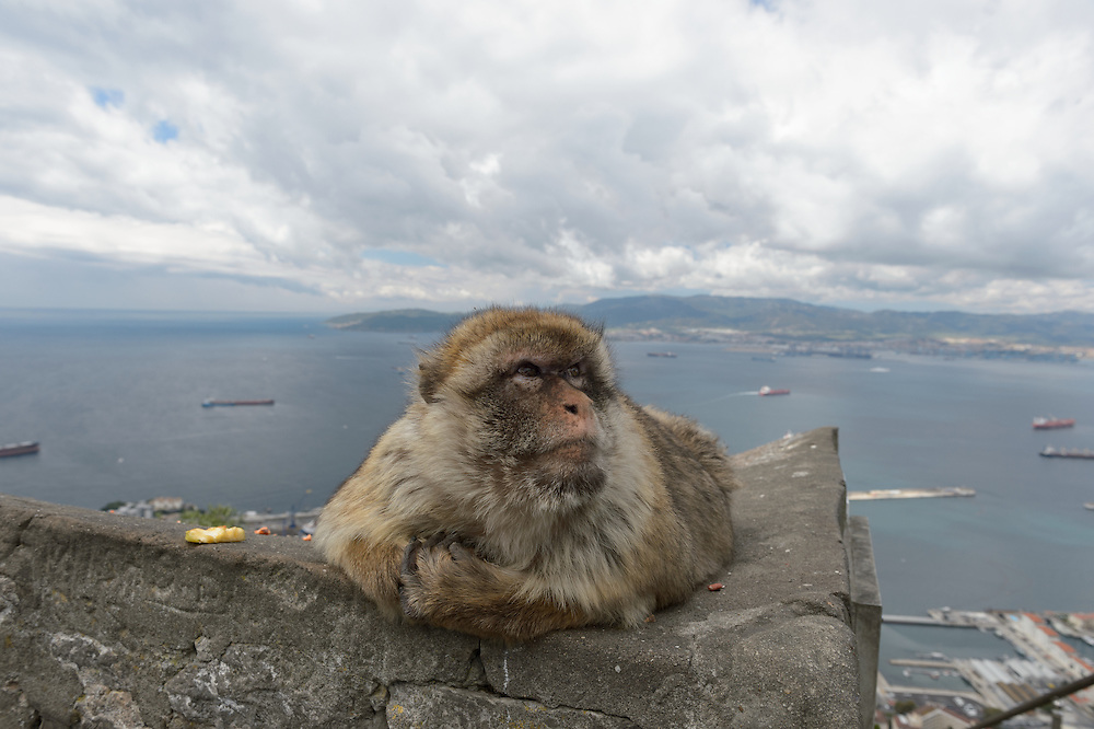 Overweighted male barbary macaque with the Strait of Gibraltar in the background.  The Barbary Macaques (Macaca sylvanus) of Gibraltar are an exotic species that suffers from diabetes, obesity and aggressive behavior due to the fatal interaction with tourists.