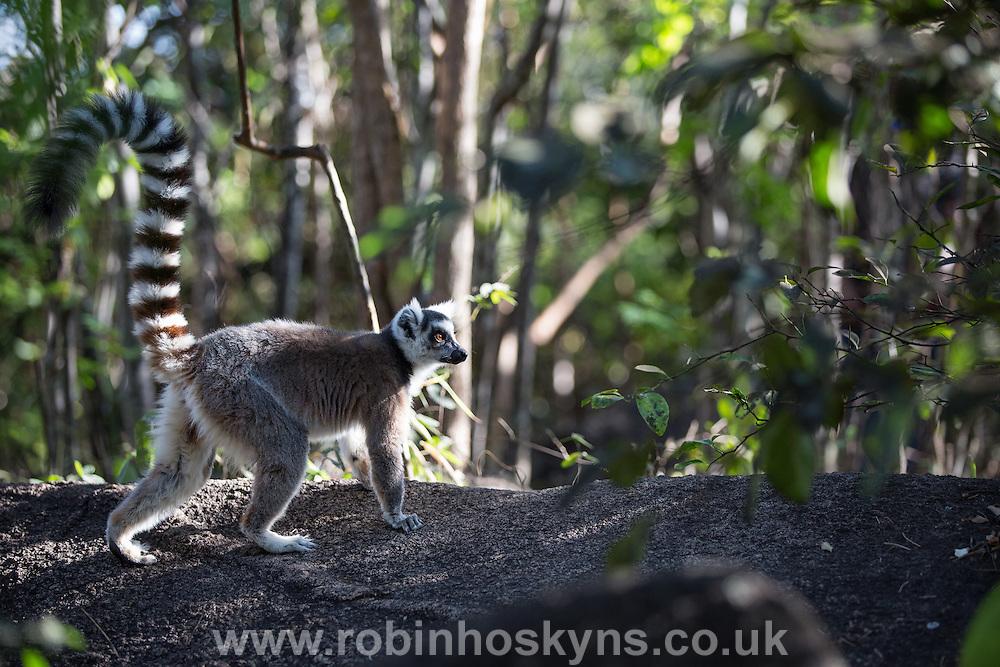 Ring-Tailed Lemur at Anja Community Reserve near Fianarantsoa, Madagascar
