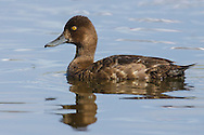 Greater Scaup - Aythya marila - female
