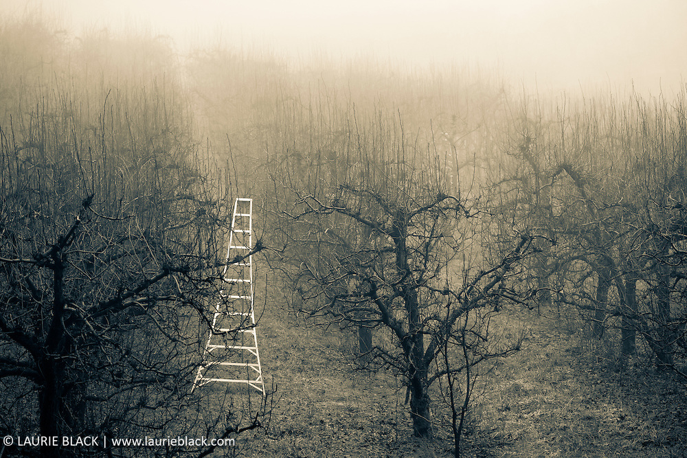 Misty orchard ladder fine art photograph