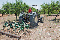 Farmer ploughs olive grove in Murcia