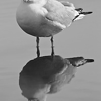 Black and white portrait of an adult ring-billed gull (Larus delawarensis) in nonbreeding plumage and its reflection near the edge of the Choptank River, Cambridge, Maryland.