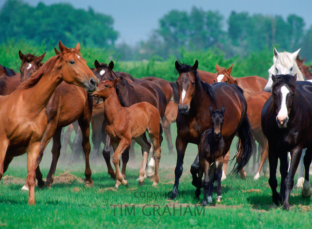 Wild horses on the Great Hungarian Plain at Bugac, Hungary RESERVED USE - NOT FOR DOWNLOAD -  FOR USE CONTACT TIM GRAHAM