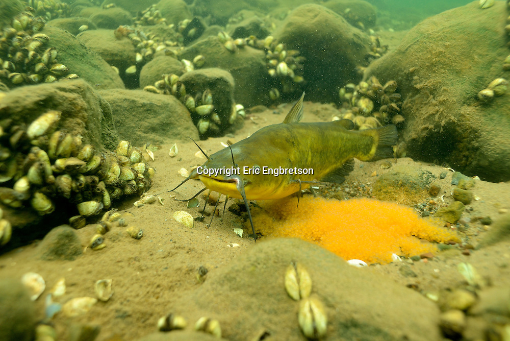 Black Bullhead (male guarding eggs)<br />