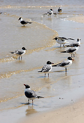 09 May 2010. South Beach, Waveland, Mississippi USA. <br /> Wildlife abounds on the beaches. The 'laughing gull' colonies are in the middle of spring nesting. All wildlife is potentially threatened by the oil slick in the gulf. Just a few miles off the coast, an impending disaster looms. With the continual flood of oil washing into the Gulf of Mexico and as winds turn and begin to push from the south, it is only and matter of when, not if the oil reaches the beaches. The barrier islands just offshore are taking a battering soaking up the initial fronts of oil, threatening everything in it's ever encroaching path. <br /> Photo; Charlie Varley/varleypix.com