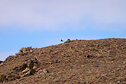 Colca Canyon - Tuesday, Dec 17 2002: An Andean Condor (Vultur gryphus) disappears over the brow of a hill at Colca Canyon, Peru. (Photo by Peter Horrell / http://www.peterhorrell.com)