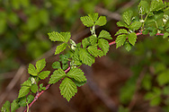 Young Blackberry leaves on cane