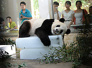 WUHAN, CHINA - AUGUST 06: (CHINA OUT) <br /> <br /> To Keep Cool For Animals During Heat Wave<br /> <br /> Giant panda Wei Wei rests on a block of ice to beat the heat at Wuhan zoo on August 6, 2013 in Wuhan, Hubei Province of China. <br /> ©exclusivepix