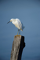 Snowy egret (Egretta thula)  perched on post in Lake Chapala, Ajijic, Jalisco, Mexico.