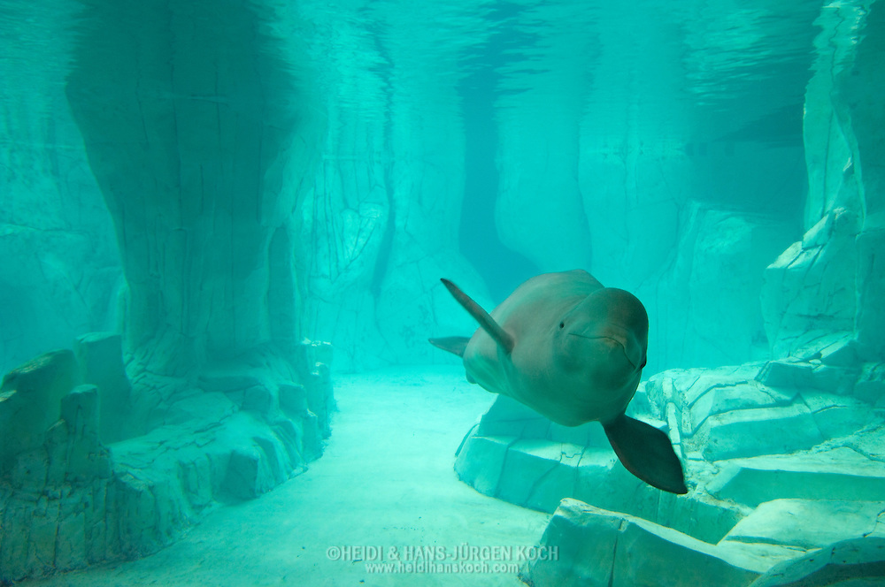 "ESP, Spanien: L'Oceanogràfic, zur Zeit das groesste Aquarium Euorpas, Beluga (Delphinapterus leucas), in seinem kuenstlichen Lebensraum, Bereich Arktis im Iglu ""Antarktis und Arktis, Stadt der Kuenste und Wissenschaften, Valencia, Valencia 