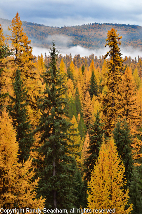 Western larch forest in fall. Kootenai National Forest in the Purcell Mountains, northwest Montana.