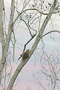 Papuan Frogmouth on nest