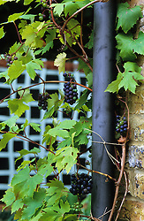 Grapes growing around drainpipe