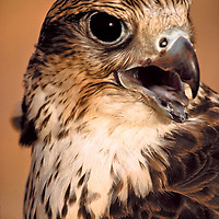 Falcons are trained to hunt rabbits and fowl.