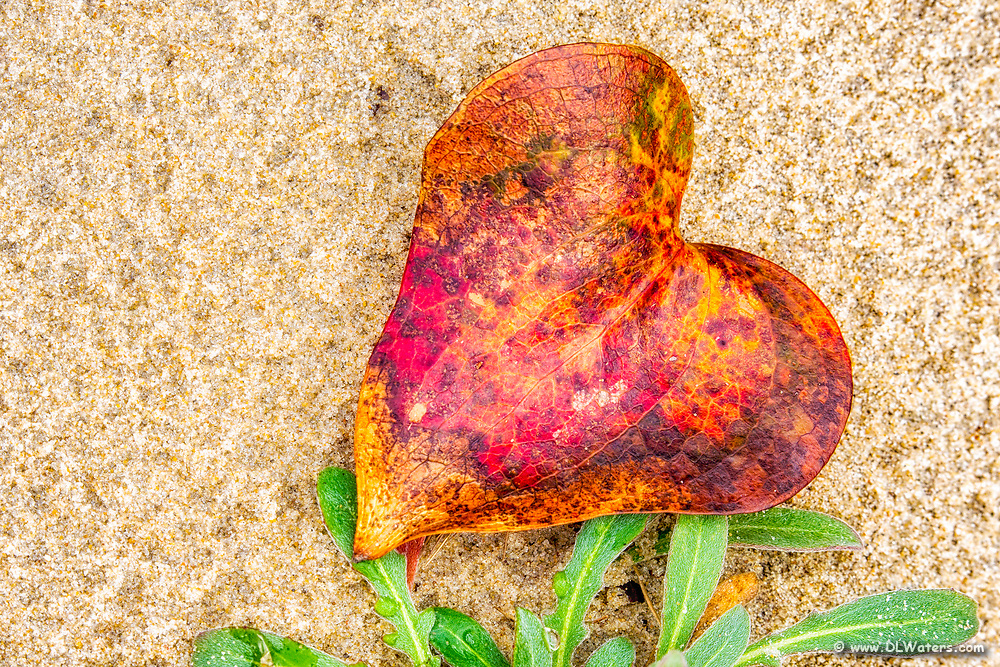 Fall leaf shaped like a heart on the sand at Jockey's Ridge State Park on the Outer Banks of NC.