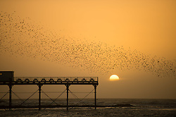 © London News Pictures. 22/01/2016 Aberystwyth, Wales, UK. Thousands of starlings take to the skies above Aberystwyth pier before settling for the night on the Victorian structure's cast-iron legs in a spectacular ritual repeated at sunset  during autumn and winter. Each evening between October and March tens of thousands of the birds fly in huge 'murmurations; in the sky above the town before settling to roost for the night on the cast iron legs of the Victorian seaside pier.  Aberystwyth is one of only a handful of urban starling roosts in the UK. Although plentiful in Aberystwyth, the starling is on the RSPB's 'red list' of endangered species in the UK Photo credit: Keith Morris/LNP
