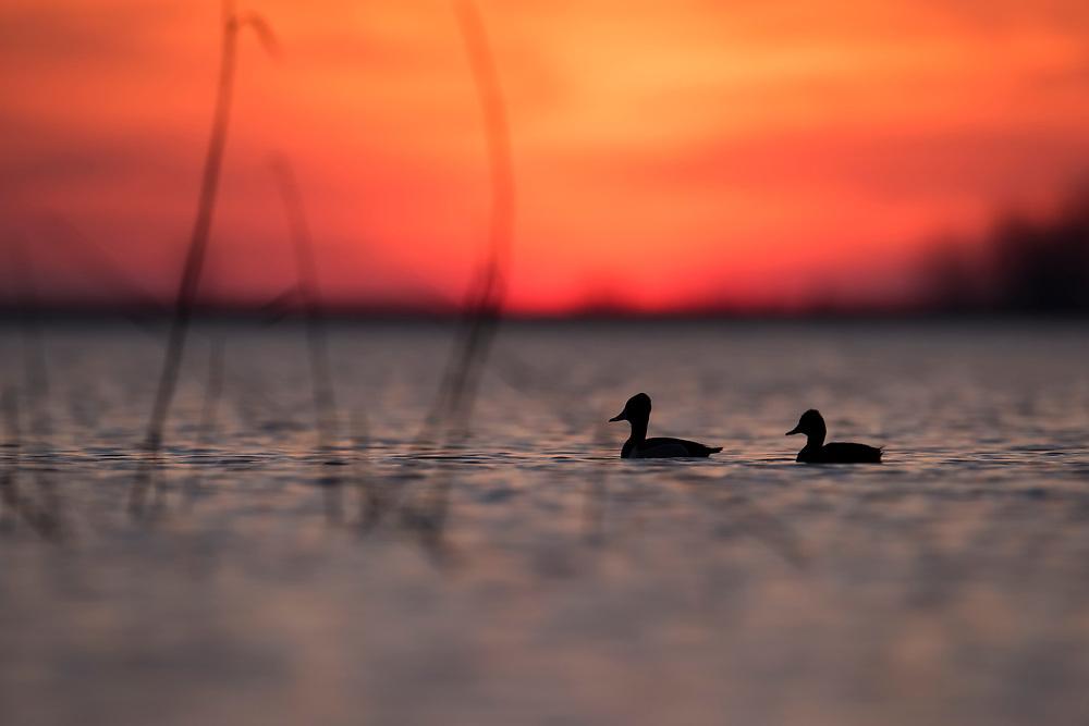 Ring-necked Ducks, Aythya collaris, male & female, Saginaw Bay, Michigan