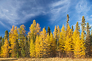 Boreal forest of Black spruce (Picea mariana) and eastern larch / tamarack (Larix laricina) in autumn color<br />