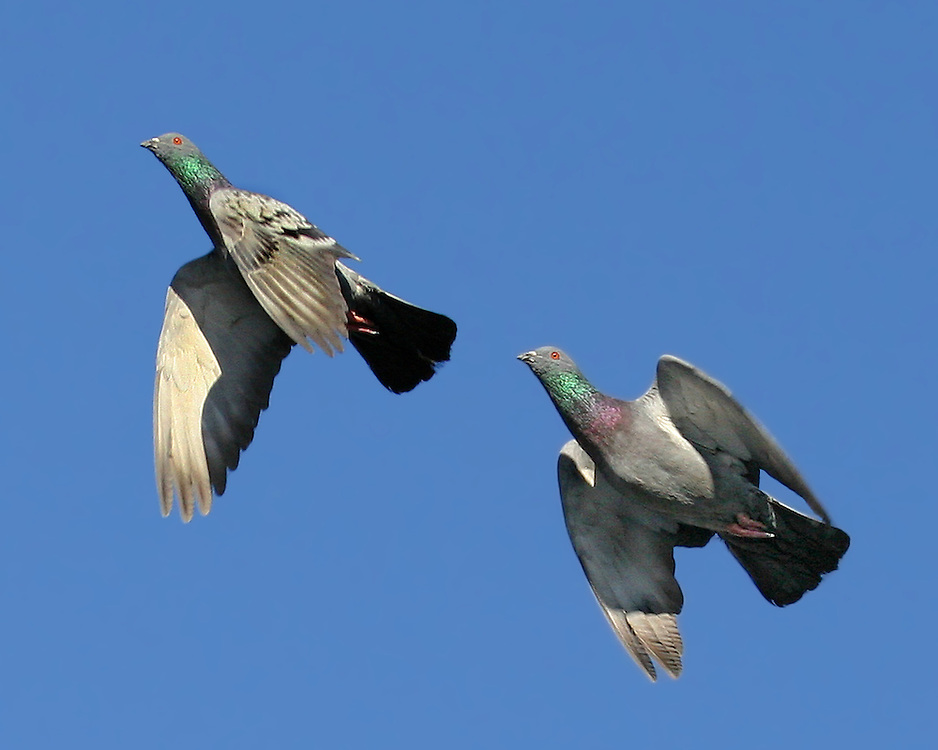 Flying pair of pigeons on a cold Winter day.