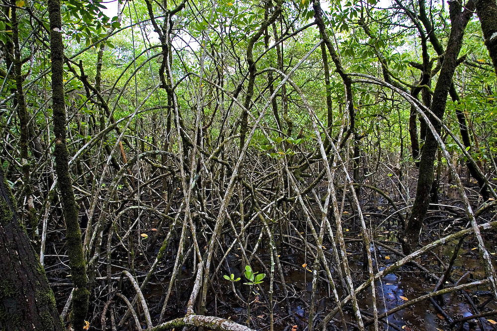 Mangrove roots in Daintree Rainforest, Australia