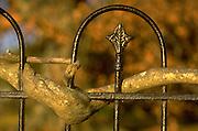 Vine wrapped around wrought iron fence, North Carolina Coast