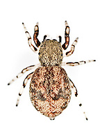 Ballus chalybeius - female. A squat little woodland jumping spider that hunts on the foliage of trees especially Oak.
