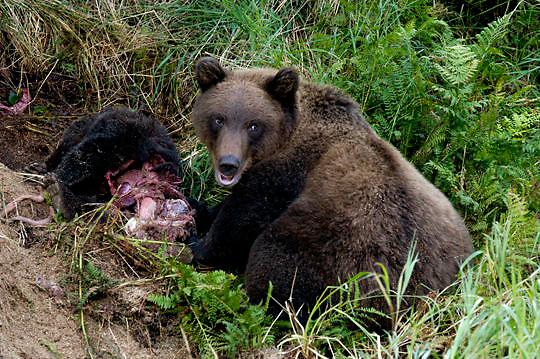 Alaskan Brown Bear (Ursus middendorffi) Mother and sub adult cub kill and feed on spring cub. Katmai National Park. Alaska. Early summer.