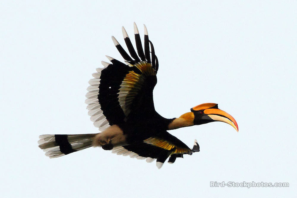 Great Hornbill, Buceros bicornis, flying, Assam, India, by Markus Lilje