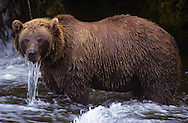 USA, Vereinigte Staaten Von Amerika: Grizzlybär (Ursus arctos horribilis), steht im kalten Wasser vom Brook River in der Nähe der Brook Falls Wasserfälle, wartet auf Lachs. Wasser läuft im über die Nase, weil er von Zeit zu Zeit ins Wasser taucht und nach Lachs ausschau hält, Katmai Nationalpark, Alaska | USA, United States Of America: Brown bear (Ursus arctos horribilis), standing in the cold water of the Brooks River, close to the Brooks Falls, waiting for salmon. Water is running from it's nose because from time to time he is looking under water if a salmon is coming along, Katmai National Park, Alaska |
