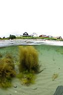 Japanese Wireweed (Sargassum muticum). Location: Stavanger, Norway