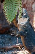 Galapagos land iguana (Conolophus subcristatus) feeding on cactus on the island of South Plaza.