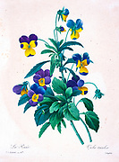 19th-century hand painted Engraving illustration of Wild pansy Heart's ease, Love in Idleness (Viola tricolor), flower, by Pierre-Joseph Redoute. Published in Choix Des Plus Belles Fleurs, Paris (1827). by Redouté, Pierre Joseph, 1759-1840.; Chapuis, Jean Baptiste.; Ernest Panckoucke.; Langois, Dr.; Bessin, R.; Victor, fl. ca. 1820-1850.