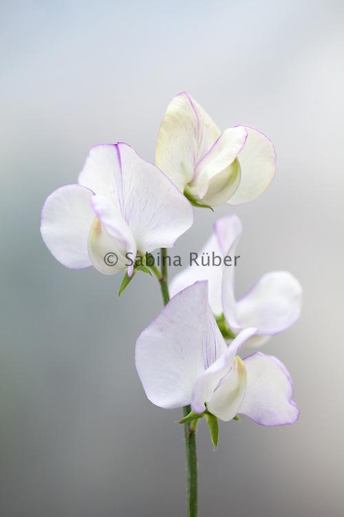 Lathyrus odoratus 'Romeo' - sweet pea