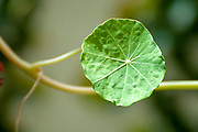 Close up of a leaf of a Tropaeolum majus (garden nasturtium, Indian cress or monks cress)