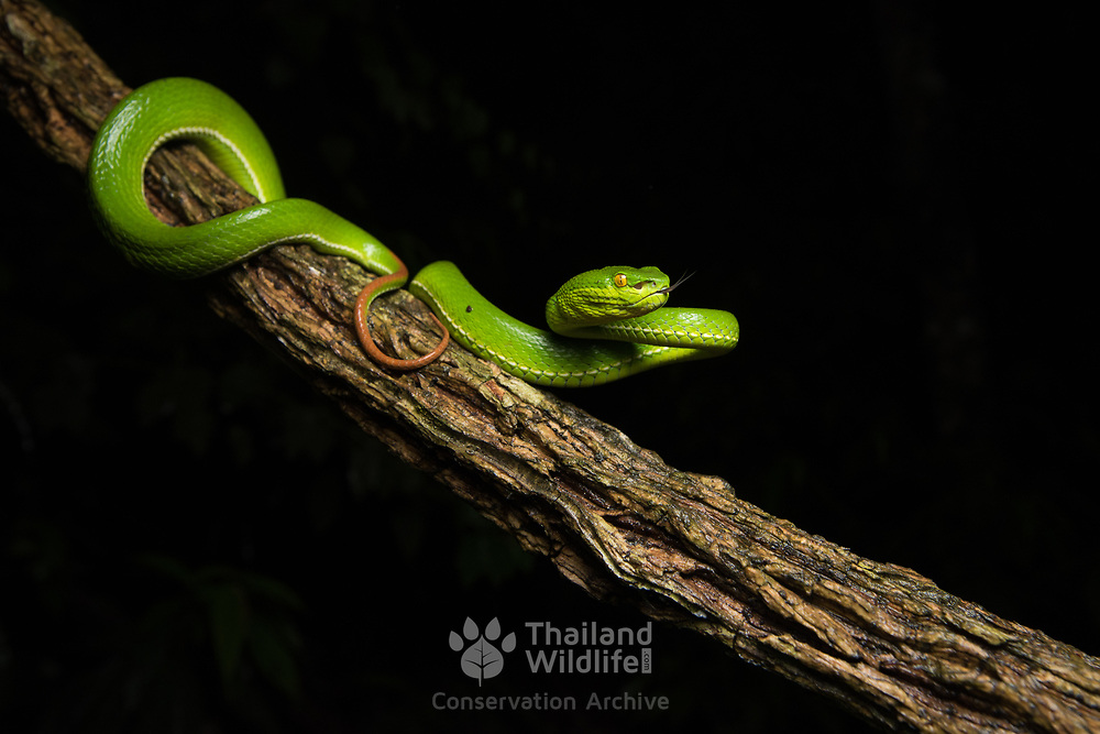 White-lipped Pit Viper (Trimeresurus albolabris) adult female in Kaeng Krachan national park, Thailand