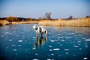 """English Setter """"Rudy"""" läuft am 01.03. 2018 über seinen gefrorenen Teich in Stara Lysa, (Tschechische Republik).  Rudy wurde Anfang Januar 2017 geboren und ist vor ungefähr einem Jahr zu seiner neuen Familie umgezogen."""