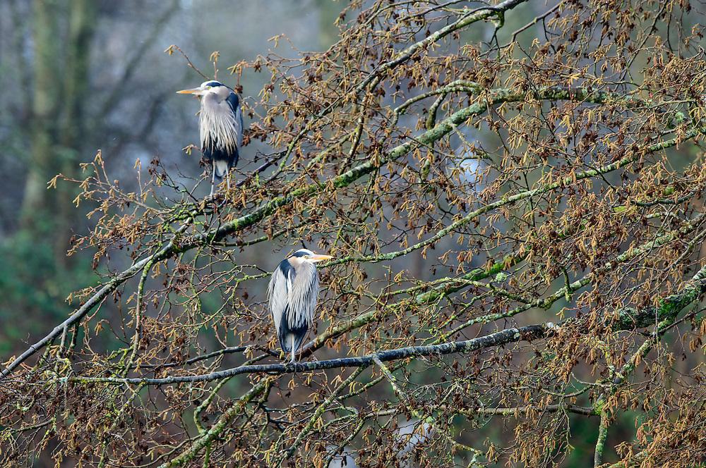 Roosting great blue herons (Ardea herodias), Pacific Northwest