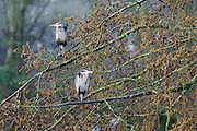 Roosting great blue herons (Ardea herodias), Pacific Northwest